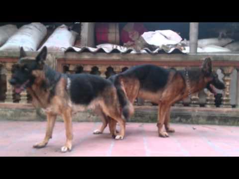 Nhận phối giống chó becgie lh 0911130386