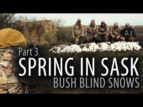 Spring In Sask  | Big Bush Blind | Snow Goose Hunting Canada | Part 3
