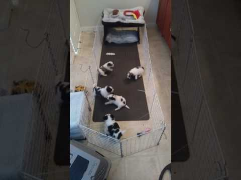 Shih tzu puppies 4 week old living area I created in my bathroom for puppies.  keeping it clean