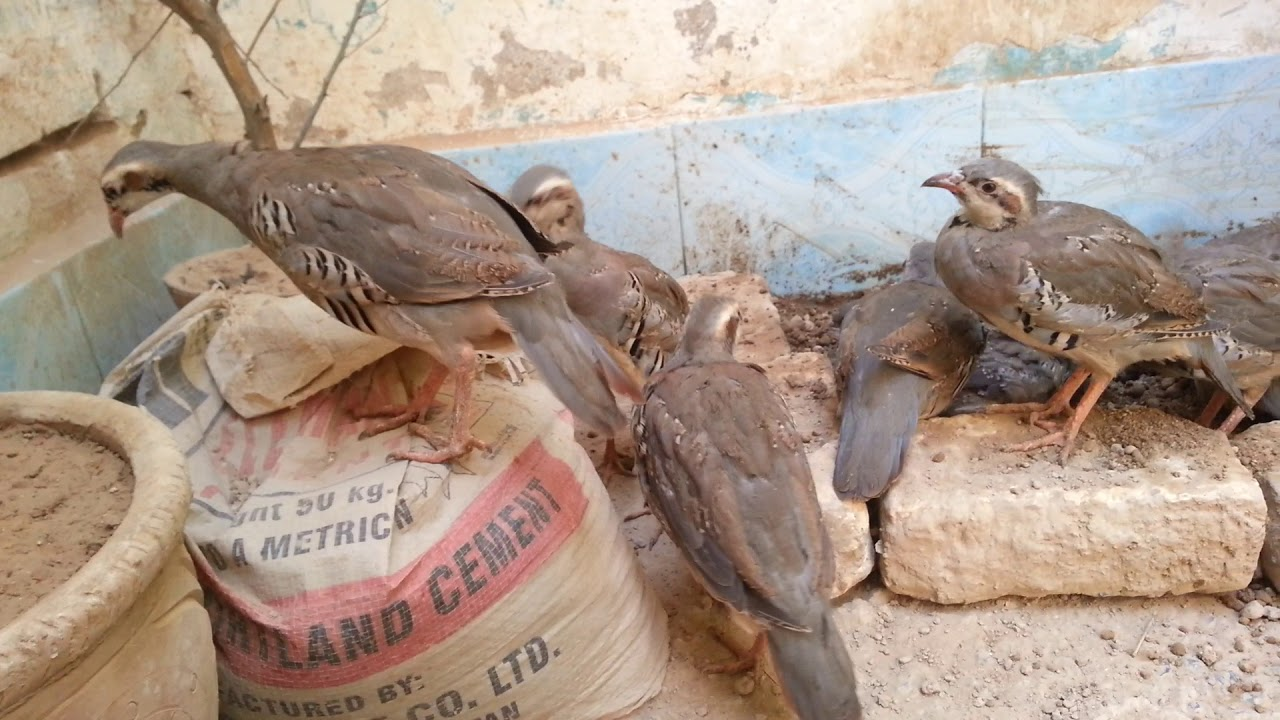 Gutkata farmi chakoor home breed in quetta