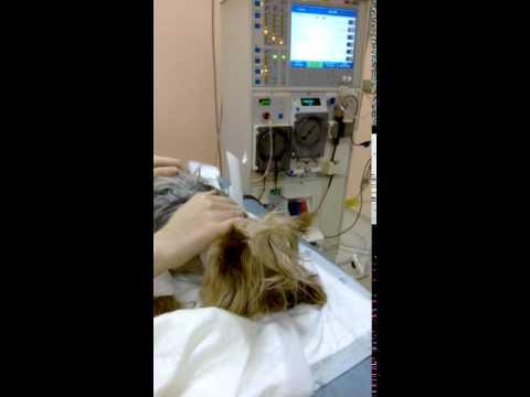 Гемодиализ собаке при почечной недостаточности