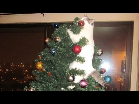 Cat and christmas tree ? NOT A GOOD IDEA - Funny CAT videos