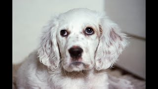 #103 ENGLISH SETTER 1/3  | Which Dog Should I Get? Dog Breed Selector