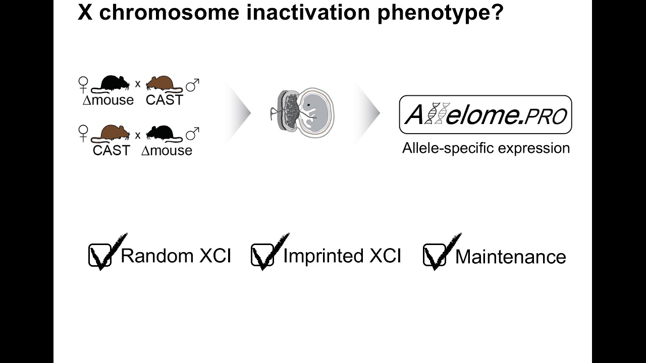 X chromosome 'mega domain' regulates autosomes!