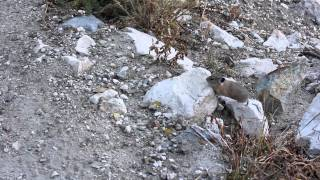 American Pika- Big Cottonwood Canyon