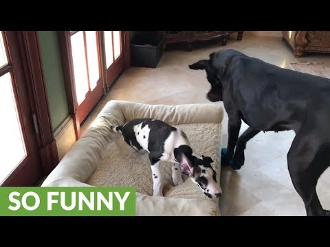 11-week-old Great Dane puppy loves to play tug-of-war