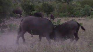 Young Bull Cape Buffalo fight
