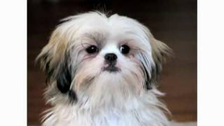 Pros & Cons Of A Shih Tzu | Dog Breeds