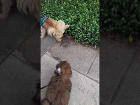 Father & Son Norfolk Terrier walking the French Quarter!