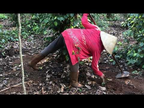 chăm sóc làm cỏ vườn tiêu gia đình