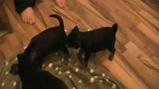 Miniature Pinscher Puppies And Mom