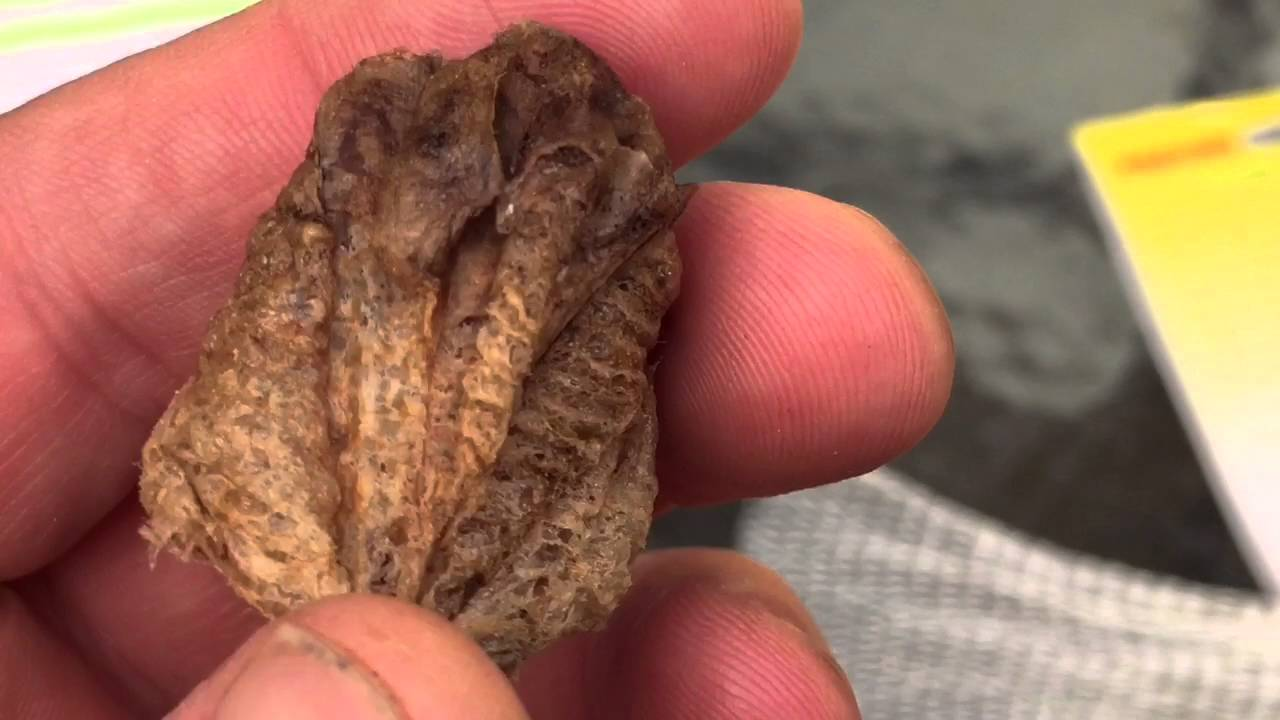 Chinese Prying Mantis Tenodera Sinensis Egg Case Lets Learn