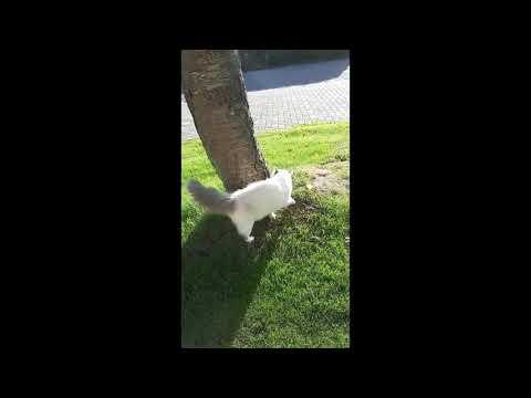 ragdoll cat,So cute ragdoll Lizzy and Kyra! Playing around, zo funny ragdolls