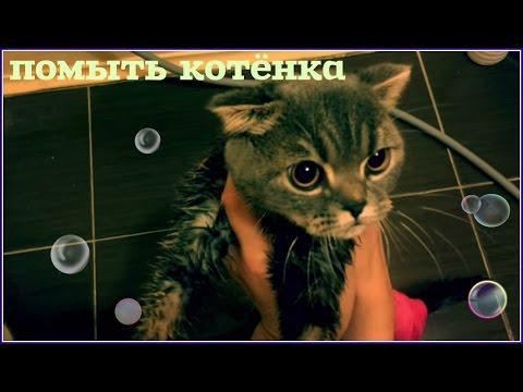 Как помыть котёнка (вислоухий шотландец)