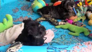 Miniature Schnauzer Puppies For Sale In Central Pennsylvania