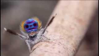 Cortejo araña pavo real