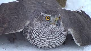 Как поймать ястреба.Hawk-sparrowhawk. The hawk is a goshawk. hawk catching