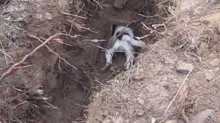Parson Russell Terrier & Badger