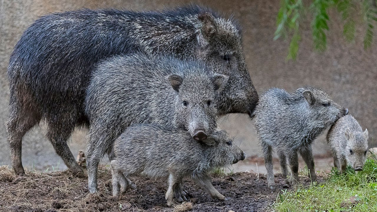 Young Peccaries Play at the Zoo