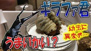 昆虫採集☆クワガタ&カブトムシ ギラファ君のエサ交換! でも、幼虫に異...