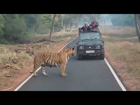 Big Male Tiger Matkasur In Tadoba