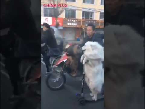 dog rides scooter in china hohhot samoyed youtube. Black Bedroom Furniture Sets. Home Design Ideas