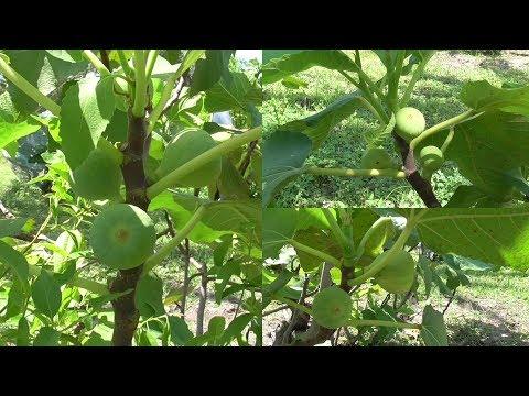 Athipalam  cultivation அத்திபழம் சாகுபடி