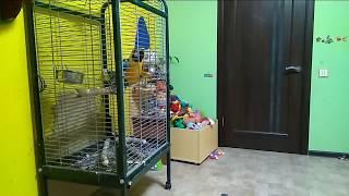 Ручной большой попугай ара: побег из клетки