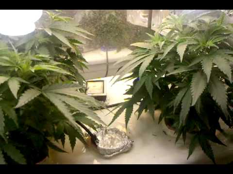 how to grow weed in hydroponic systems