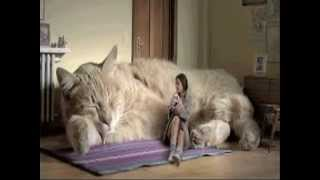 Rasse von Riesen Katzen