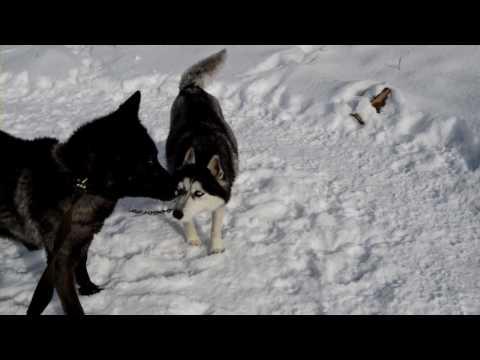 Волк и волчица.wmv