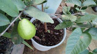 Qual o Tamanho dos Vasos para Plantar Pé de Frutas