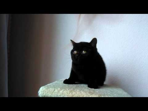 British shorthair black girl carrier cinnamon