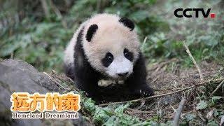 《远方的家》 20190827 栗子坪国家级自然保护区 大熊猫放归之乡| CCTV中文国际