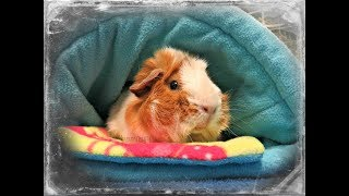 Chatty Morning Pet Room Routine: Guinea Pigs & Rabbit