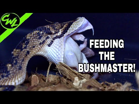 FEEDING THE BUSHMASTER!!!
