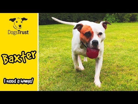 Baxter is a Sweet Staffordshire Bull Terrier Looking for a Home! | Dogs Trust Loughborough