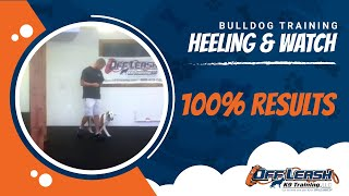 Bulldog Working Focused Heeling And Watch! Dog Training Northern Virginia