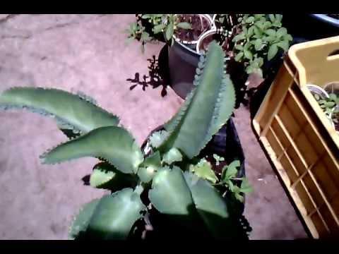 aranto planta medicinal beneficios