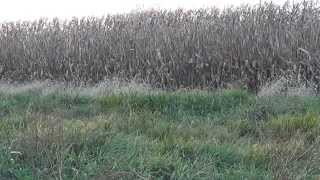 Hunting Whitetails in Cornfields