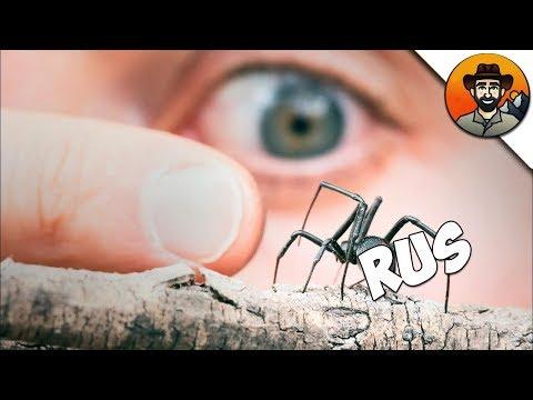 Вопрос: Как определить красноспинного паука?