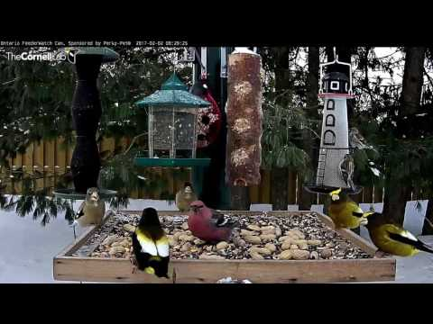 Evening Grosbeaks – Ontario FeederWatch – Feb. 2, 2017