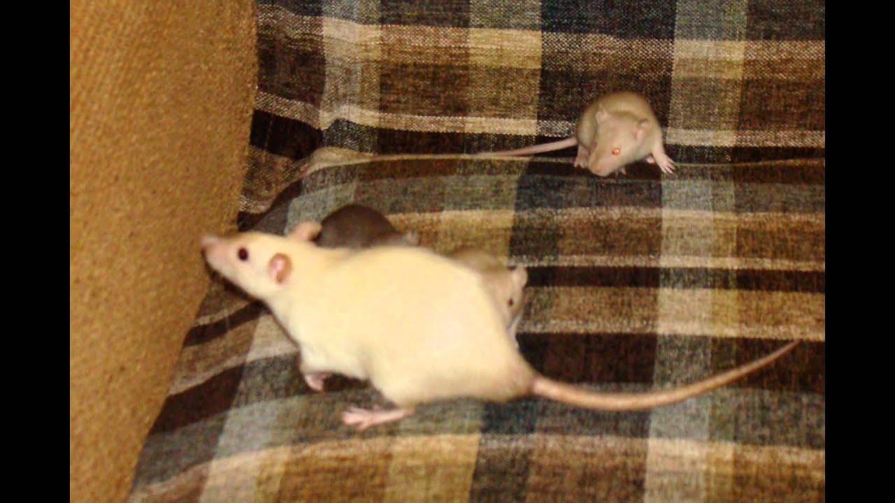 А у нас крысята! Фото с 1-60 день - YouTube
