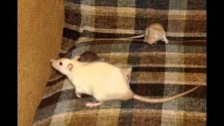 А у нас крысята! Фото с 1-60 день
