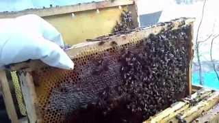 Bal arısı ilkbahar bakımı,15 Şubat 2015