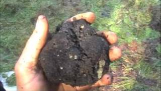 More Oregon Black Truffle mushrooms