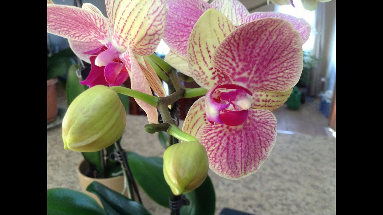Humidity Around The Phalaenopsis Orchid Is Required