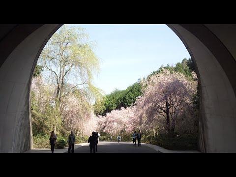 MIHO MUSEUM 桜 電気自動車 滋賀県甲賀市信楽町