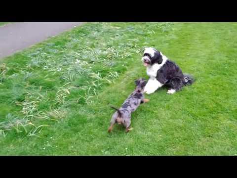 Wiener vs Tibetan Terrier