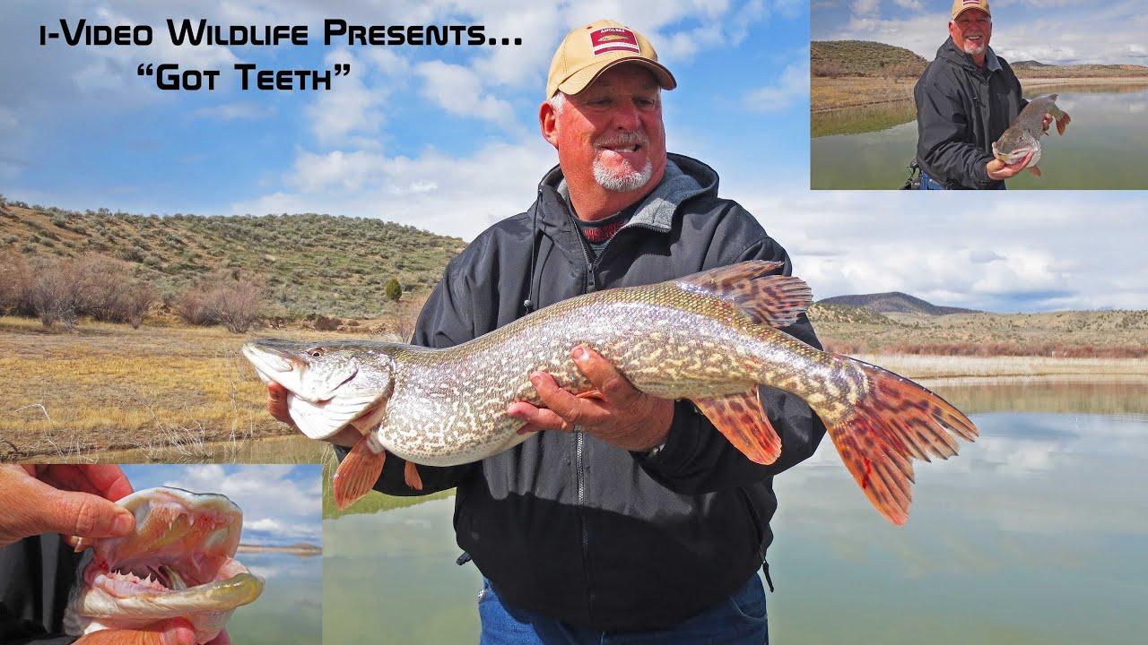 Big teethy northern pike yuba reservoir utah youtube for Northern utah fishing report